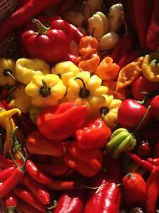 Carolina Reaper/ Ghost Pepper/ Chili Pepper seeds and Hot Sauce London Ontario image 2