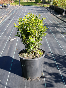 Korean Buxus Oakville Hawkesbury Area Preview