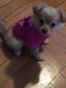 SUPER FLUFFY Female Pomeranian n Chihuahua for Sale!