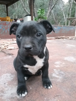 English Staffordshire Bull terrier puppies