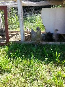 Silkie and silkie/banty chicks