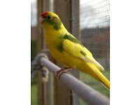 1 BUDGIE FOR SALE