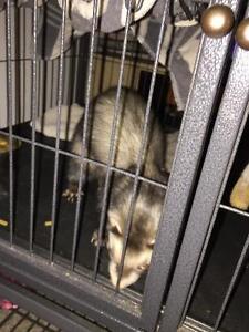 2 ferrets needing forever home