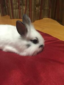Lion head/Holland Lop Cross Bunnies