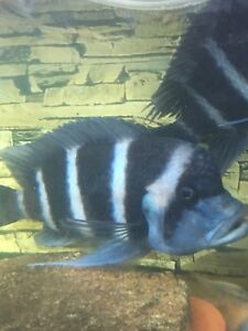 Frontosa chumbu for sale Liverpool Liverpool Area Preview