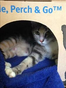 "Young Female Cat - Domestic Short Hair: ""Richard Parker"""