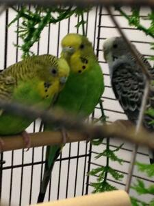 3 budgies & cage