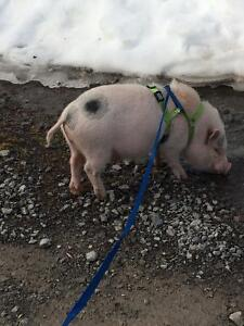 Neutered pot belly pig for sale to good home!