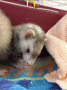 """Young Female Small & Furry - Ferret: """"Noodles"""""""