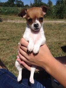 Well socialized chihuahua puppies
