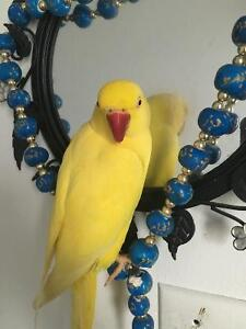 Yellow Indian Ringneck Female 3 yrs old!