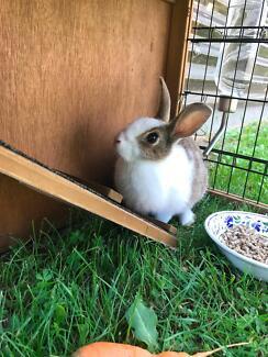 Female Rabbit + hutch