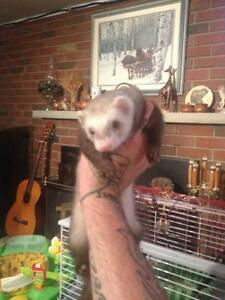 Beautiful Young Male Ferret for Sale! *Incl Complete Set up*