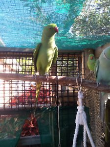 3 indian ringnecks Upper Coomera Gold Coast North Preview
