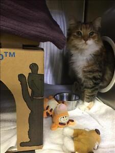 "Young Female Cat - Domestic Medium Hair: ""Kitty"""