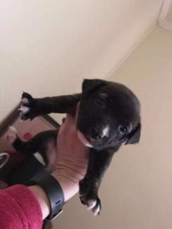 6 week old Puppie crosses for sale