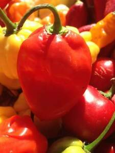 Carolina Reaper/ Ghost Pepper/ Chili Pepper seeds and Hot Sauce London Ontario image 6