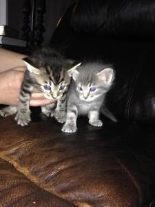 Ragdoll X Tabby kittens