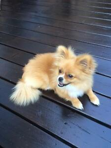 Pomeranian Puppy For Sales