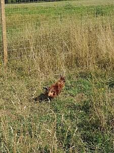 PEI's ugliest Rooster...Frizzle born in New Brunswick