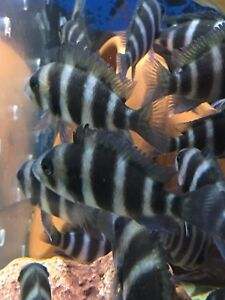 Frontosa Brandi for sale Liverpool Liverpool Area Preview