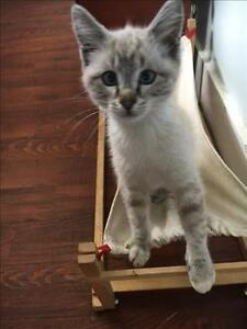 """Baby Male Cat - Siamese-Domestic Short Hair: """"Sprocket"""""""