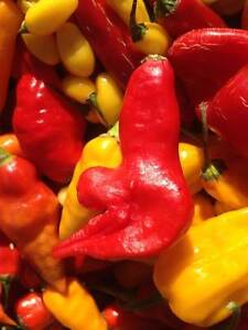 Carolina Reaper/ Ghost Pepper/ Chili Pepper seeds and Hot Sauce Kitchener / Waterloo Kitchener Area image 9
