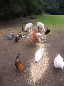 Will take any unwanted livestock or poultry Niagara Park Gosford Area Preview