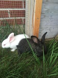 Sweet young bunnies looking for homes.