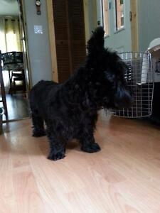 Male Scottish Terrier for sale