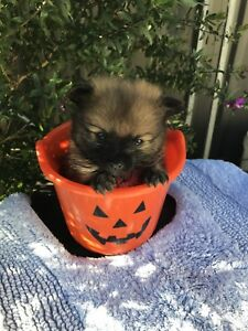 Pomeranian puppies Muswellbrook Muswellbrook Area Preview