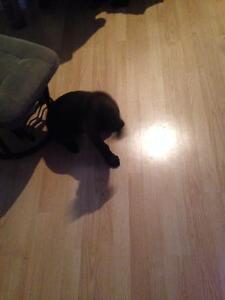 Labrador brun femelle