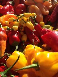 Carolina Reaper/ Ghost Pepper/ Chili Pepper seeds and Hot Sauce Kitchener / Waterloo Kitchener Area image 1