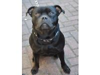 Staffishore Bull Terrier FOR REHOME /SALE