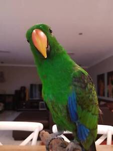 Green Eclectus Parrot Beaumont Hills The Hills District Preview