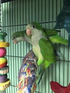Quaker Parrots, handfed, just weaned.