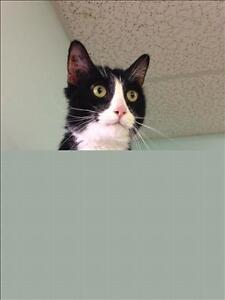 "Senior Male Cat - Domestic Short Hair: ""Laptop"""