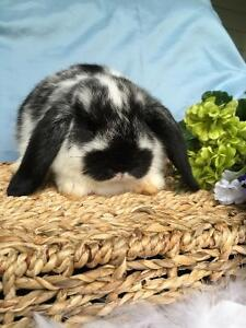 Three adorable holland lop baby bunnies for sale