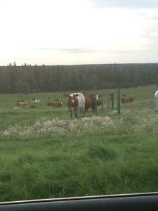 Wanted bred roan cows