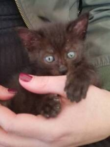 Paddy - KITTEN KAPERS RESCUE Birkdale Redland Area Preview