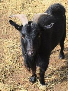 Pygmy Buck (Billy Goat) - 2 Years Old - Ready to Work!!