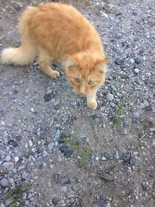 Spotted but not caught orange long haired cat behind Costco!!! Peterborough Peterborough Area image 1