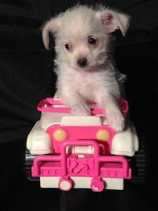 Chiot morkie 4 lbs adulte env.