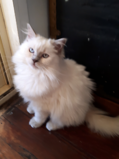 BEAUTIFUL PEDIGREE RAGDOLL FROM A REGISTERED BREEDER WITH ANCATS.
