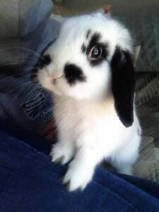 Holland lop with cage: selling