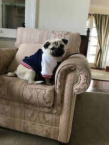 15 months old desexed male purebred Pug for sale $900 Spring Hill Cabonne Area Preview