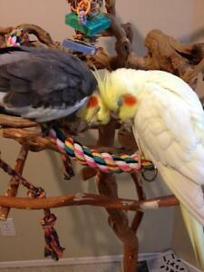 Rehoming Pair of Cockatiels