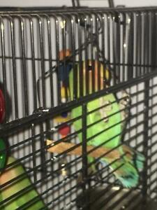 Baby lovebird for sale