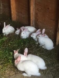 Meat Rabbits