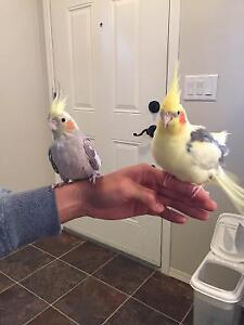 Moving. Lovely Cockatiels to Rehome with Cage.